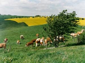Koberland Kühe